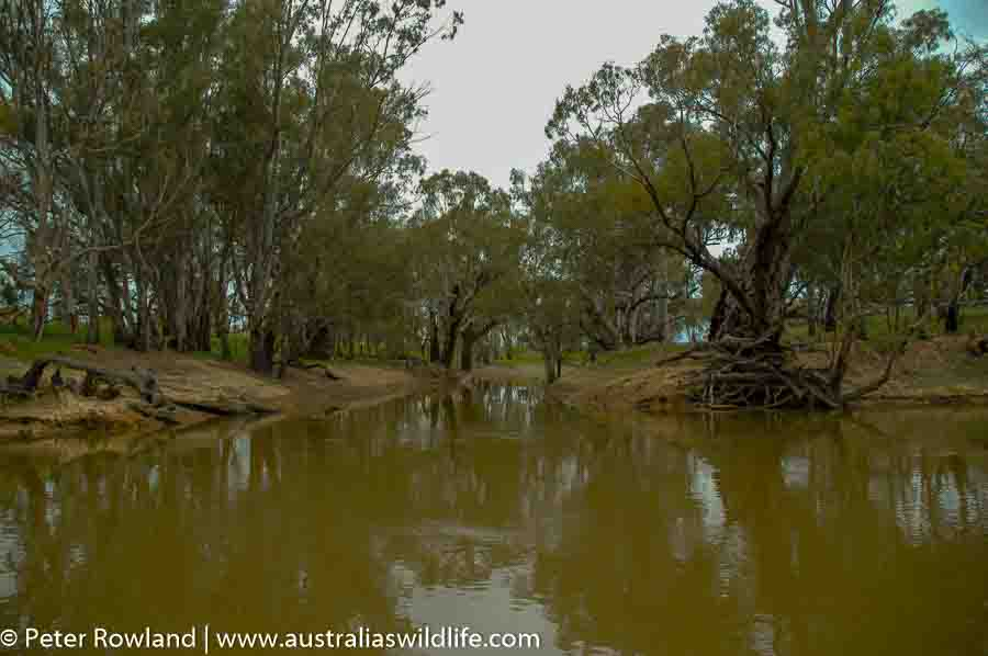 The Murray River and the River Red Gum forests on its banks