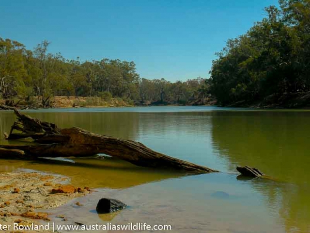 Image of the Murray River in drought times with a fallen tree in the foreground