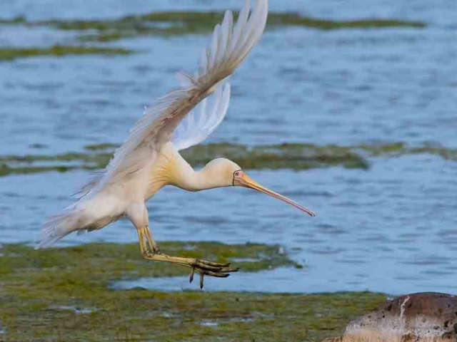 A Yellow-billed Spoonbill coming in to land on a rock with its legs outstretched