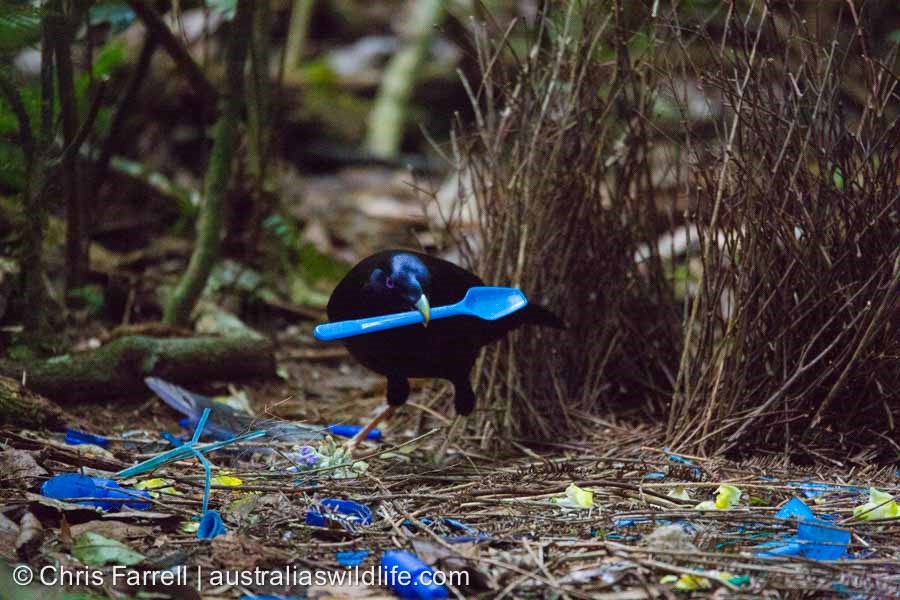 A male Satin Bowerbird holding a blue spoon in it's beak