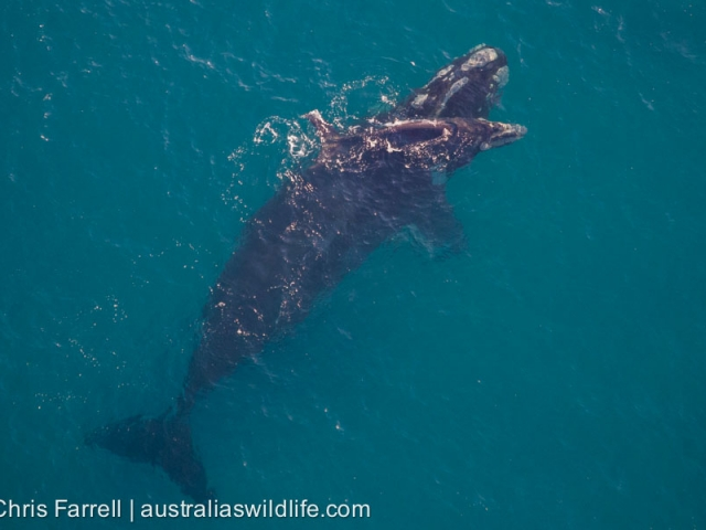 An adult Southern Right Whale with her calf