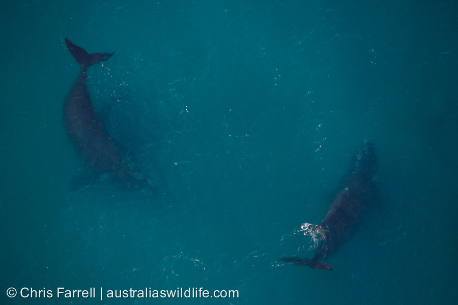 Two adults and a young Southern Right Whale in the ocean off of southern Australia