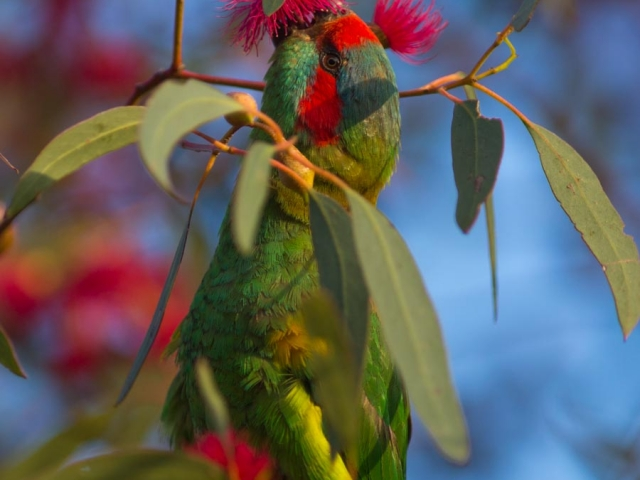 A Musk Lorikeet feeding on the nectar of a Gum Tree flower