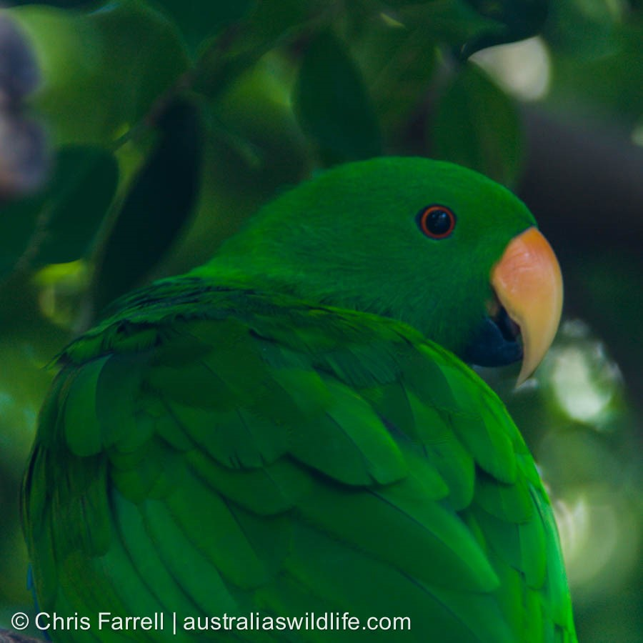 A green male Eclectus Parrot sitting among the green leaves of a tree in north Queensland