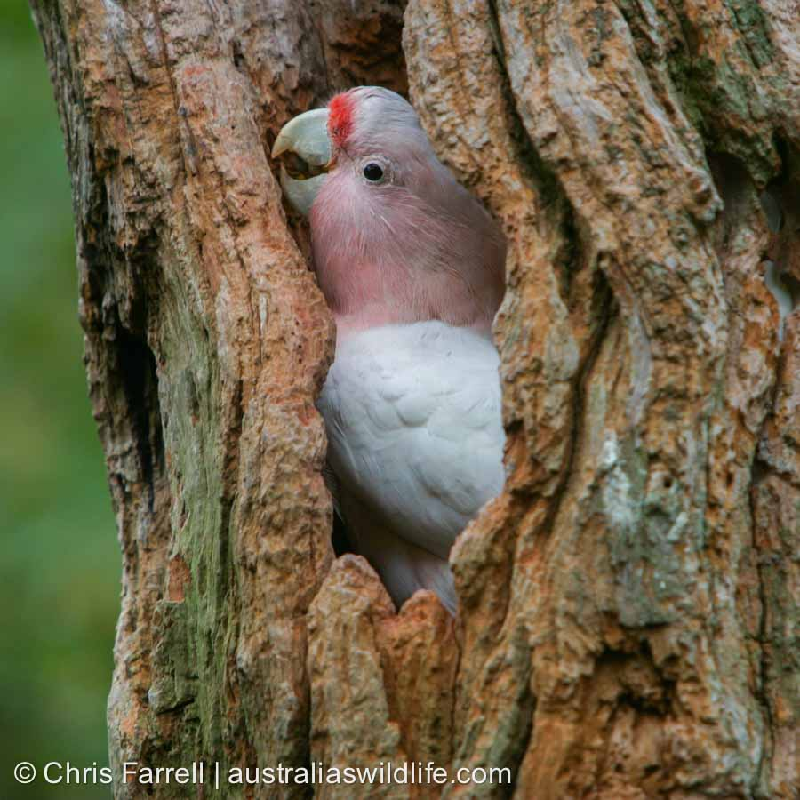 A Major Mitchell's Cockatoo emerges from its nesting hollow in a tree