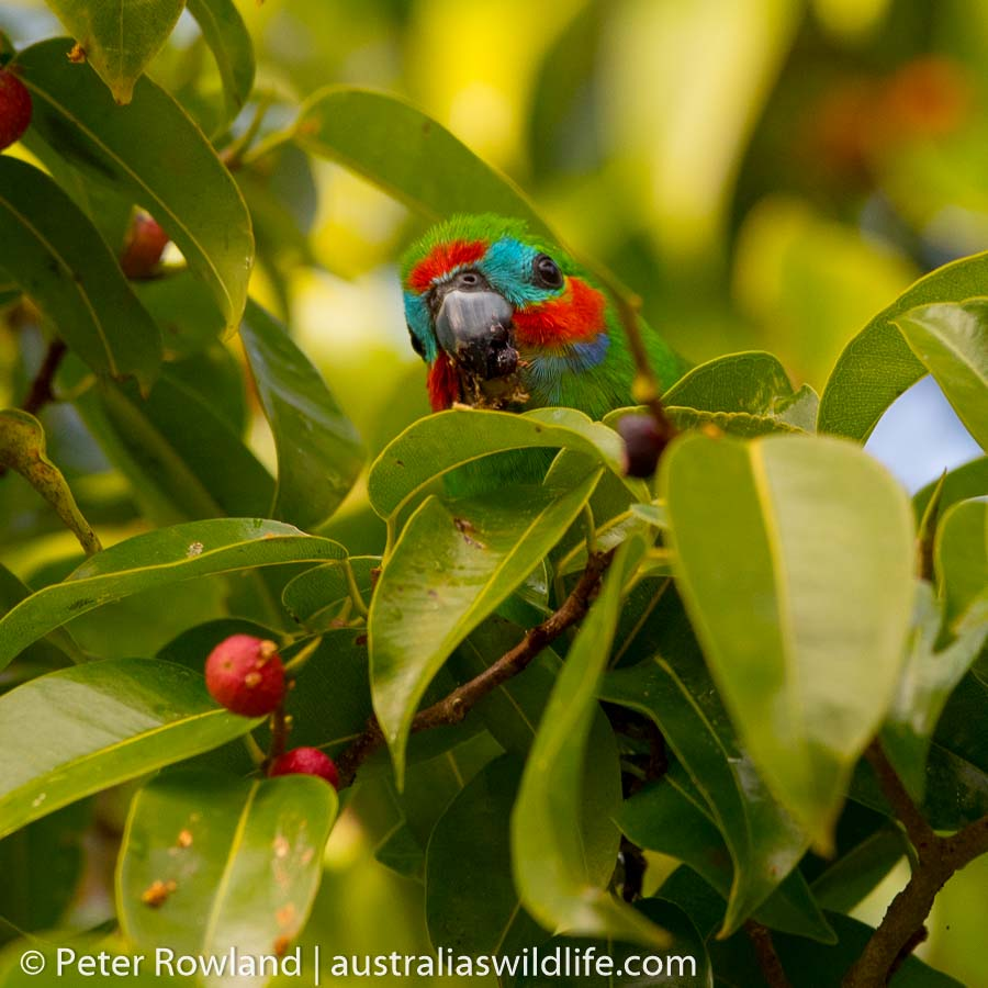 A Double-eyed Fig-Parrot feeding on figs in Kuranda, Queensland