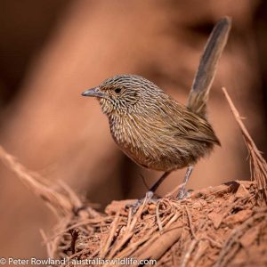 A Dusky Grasswren sitting on some sticks within the spinifex