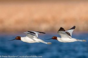 Two Red-necked Avocets flying over water