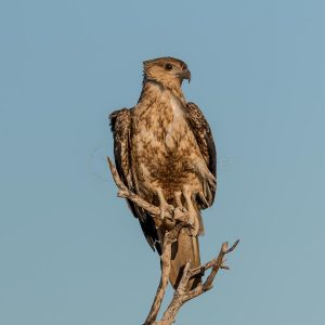 Black Kite perched in a dead tree