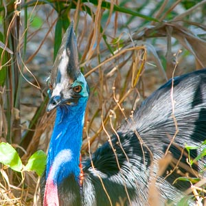 Southern Cassowary emerging from the rainforest