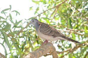 Bar-shouldered Dove perched on a thick tree branch