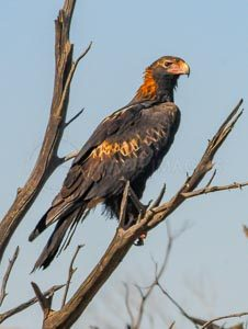 Wedge-tailed Eagle perched on a dead tree