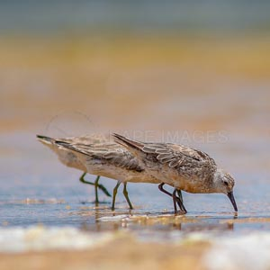 Red Knot, A trio of Red Knots forage along shallow waters.