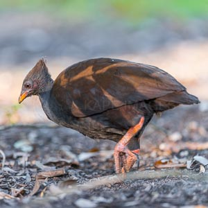 Orange-footed Scrubfowl on collecting for it's mound