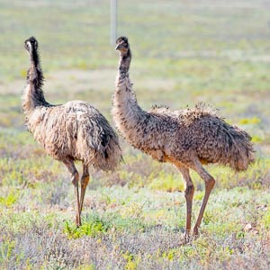 Two emus standing in a grassy plain