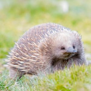 Echidna walking through the buttongrass towards the camera