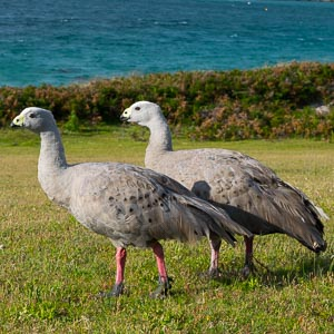Cape Barren Goose, pair of geese walking along grassy opening