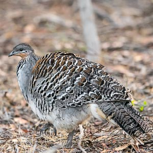 Malleefowl in forest after attending its mound
