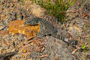 Lace Monitor foraging on the ground