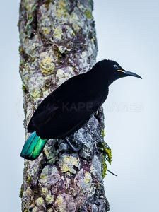 Victoria's Riflebird clasping to a tropical tree trunk