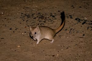Crest-tailed Mulgara walking on sandy ground at night