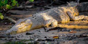 A female Saltwater Crocodile basking on a muddy shore of a river