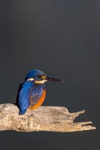 An Azure Kingfisher warms itself in the sun on a branch over the Murray River