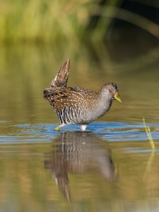An Australian Spotted Crake feeding in the shallow wetlands