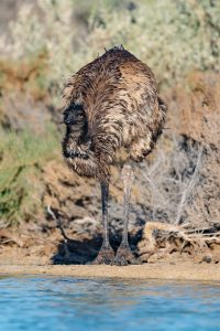 An Emu drinking at a waterhole