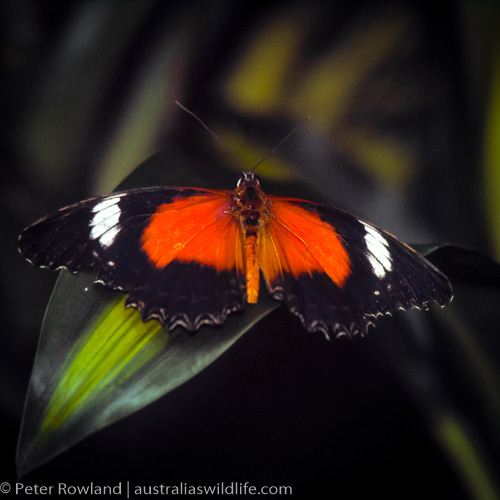 Red Lacewing