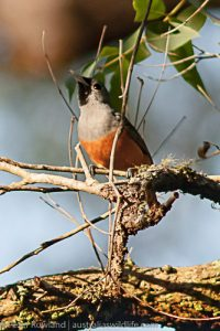 Black-faced Monarch