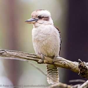 Laughing Kookaburra perched on a branch