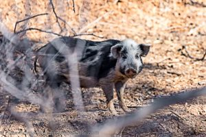Pig standing on dirt has spotted the camera