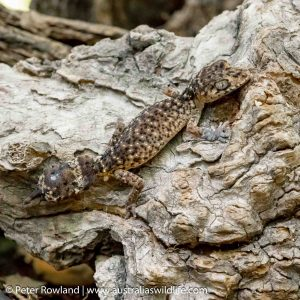 Border Thick-tailed Gecko
