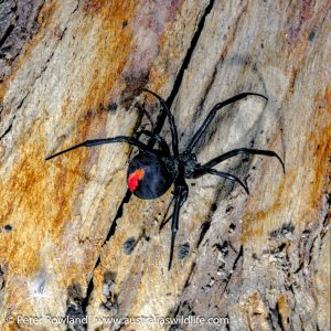 Redback Spider on a tree trunk