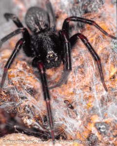 Black House Spider on its web looking toward the camera