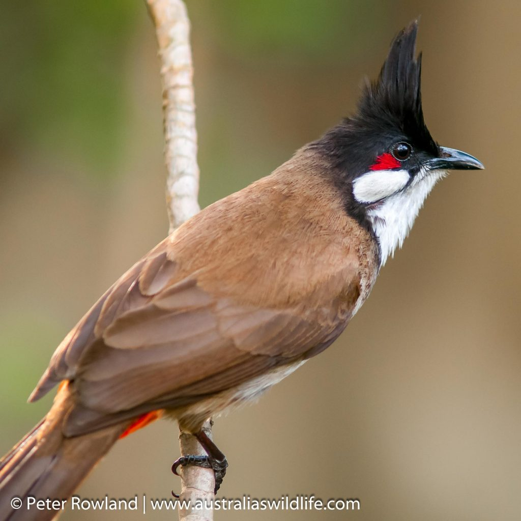 Red-whiskered Bulbul perched sideways on a thin vertical branch