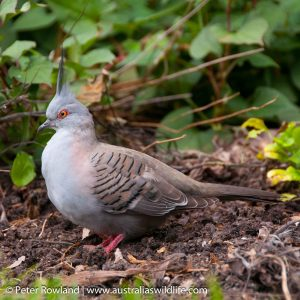 Crested Pigeon sitting on the dirt floor by some shrubbery.