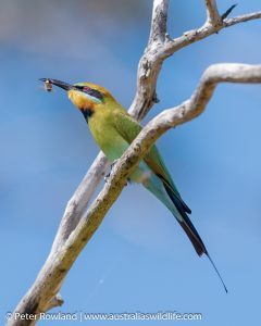 Rainbow Bee-eater perched on a high tree branch with food