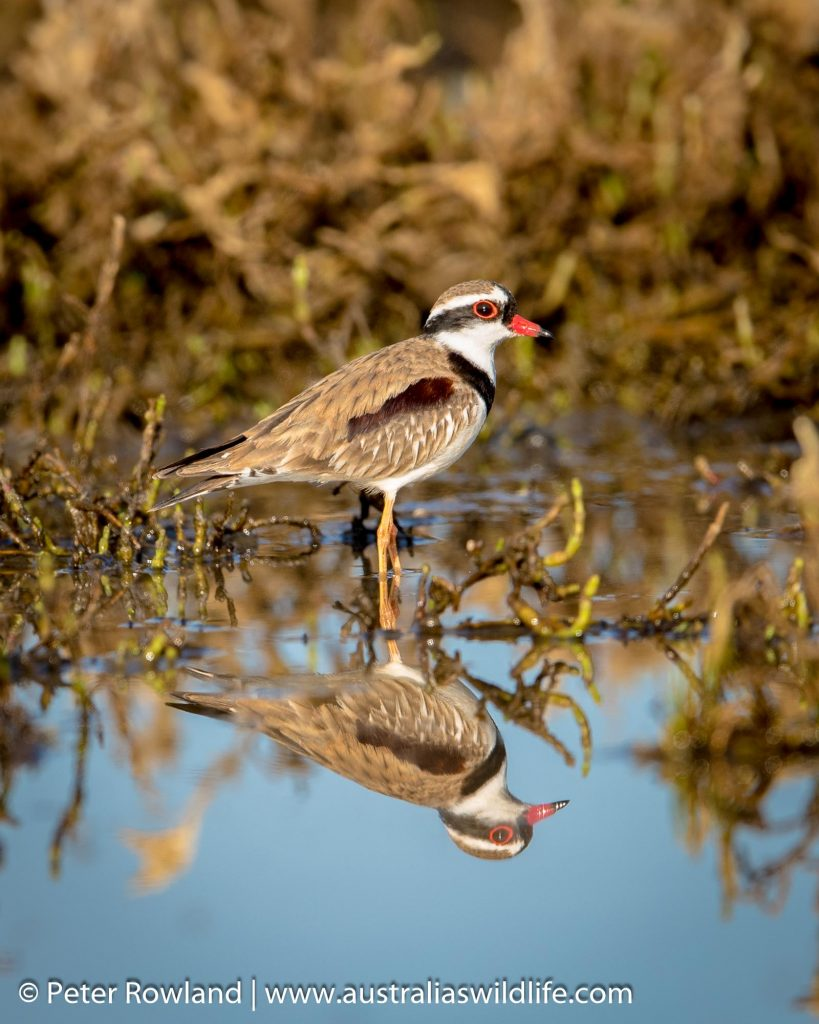 Dotterel, Black-dotted Dotterel standing in shallow murky waters with reflection.