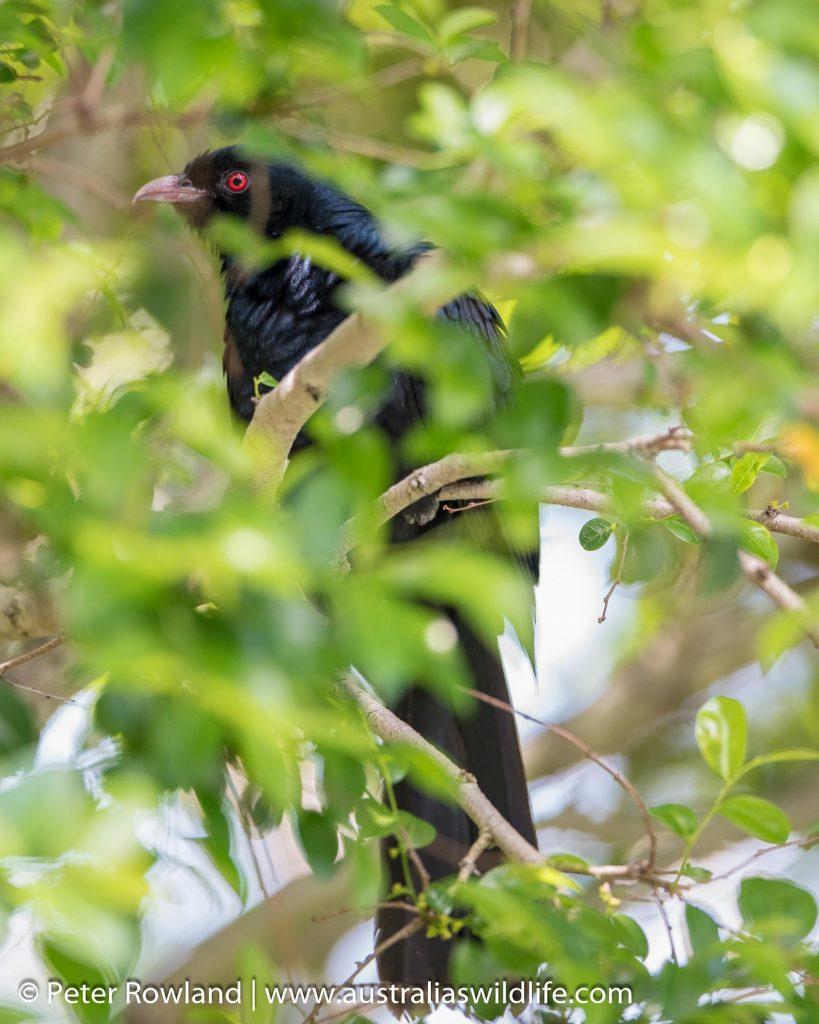 A male Common Koel perched among heavily leaved branches