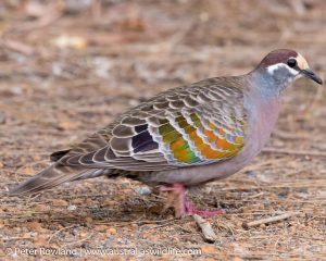 Common Bronzewing among dirt and twigs on the ground