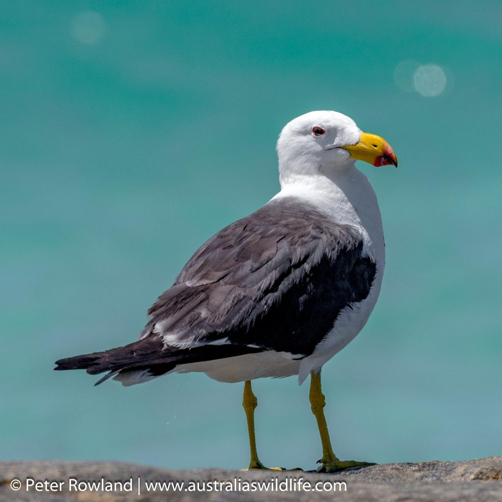 Pacific Gull on rock with blue ocean in background