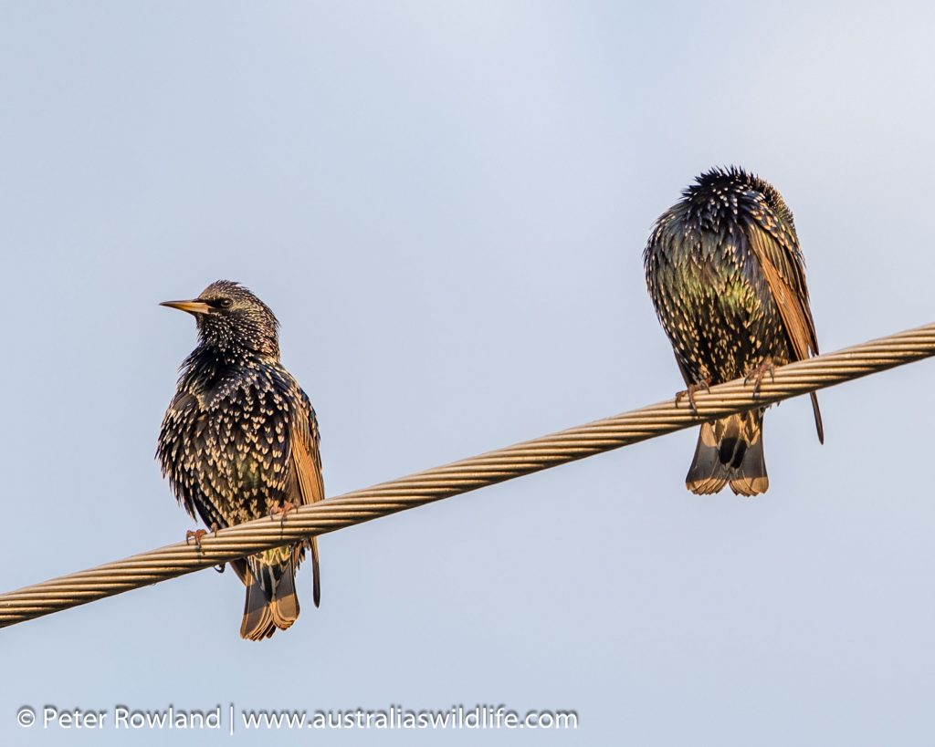 European Starling pair perched on a cable
