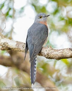 Fan-tailed Cuckoo perched on a low-hanging branch