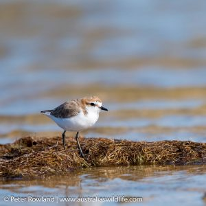 Red-capped Plover on a small bank by flowing water