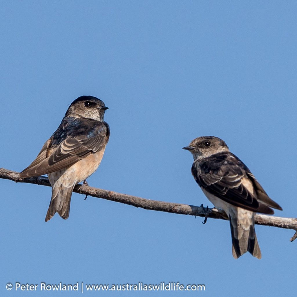 Tree Martin, a pair of Tree Martins perched on a lone branch
