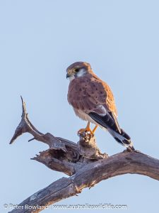 Nankeen Kestrel perched high on a dead tree branch
