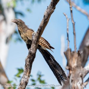 Pheasant Coucal perched on a branch out of breeding season
