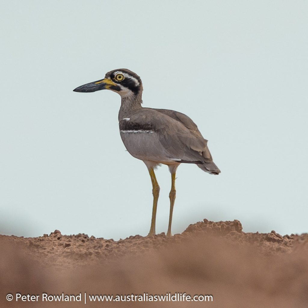 Stone-curlew, Beach Stone-curlew standing on a rocky outcrop